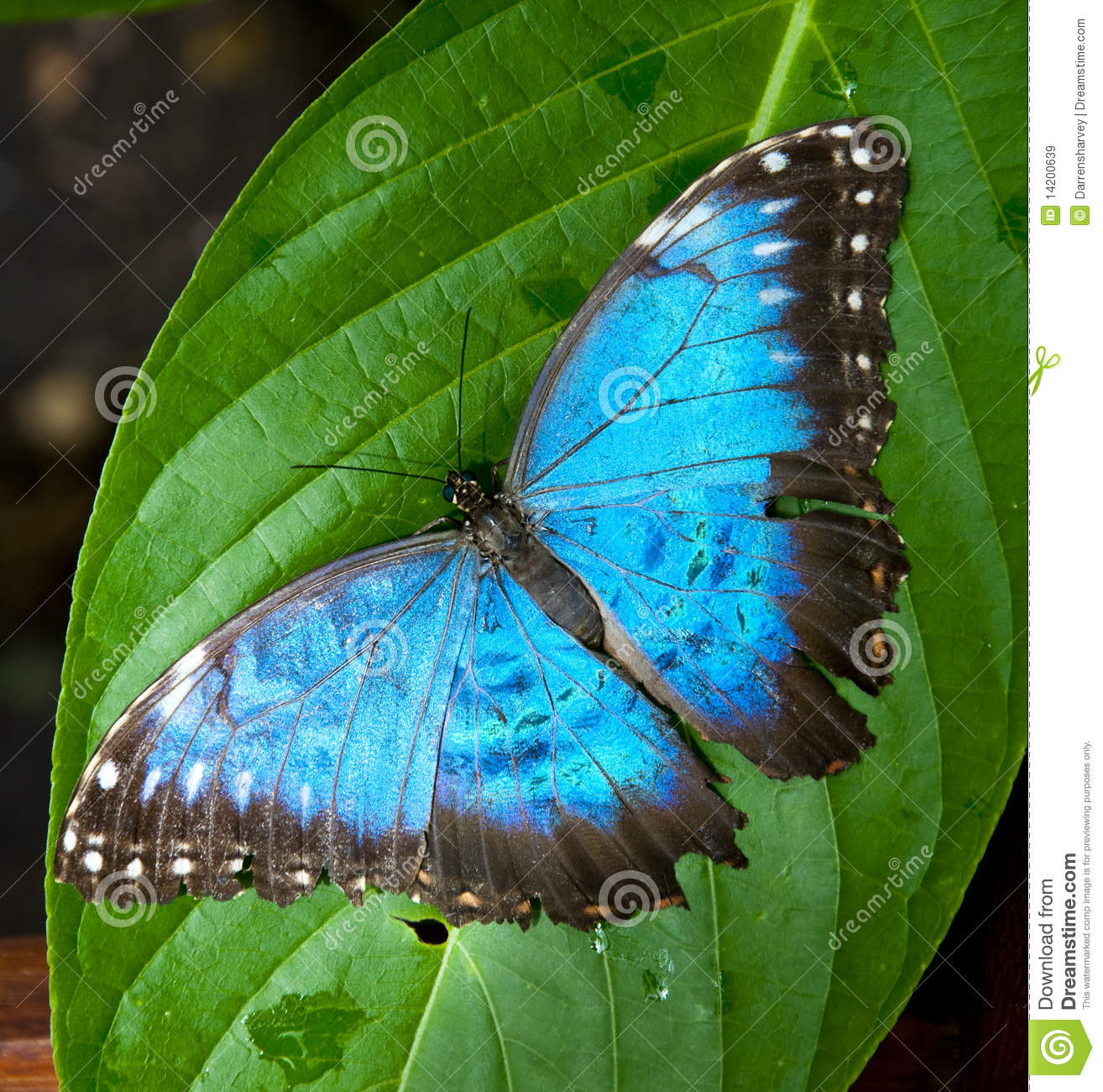 Vibrant Blue Butterfly Stock Image Image Of Flight Butter 14200639