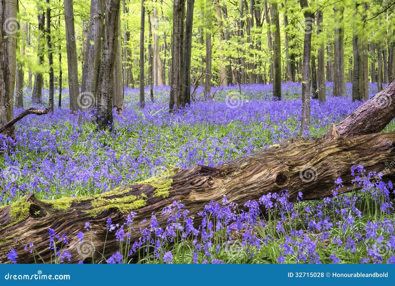 Vibrant Bluebell Carpet Spring Forest Landscape Royalty