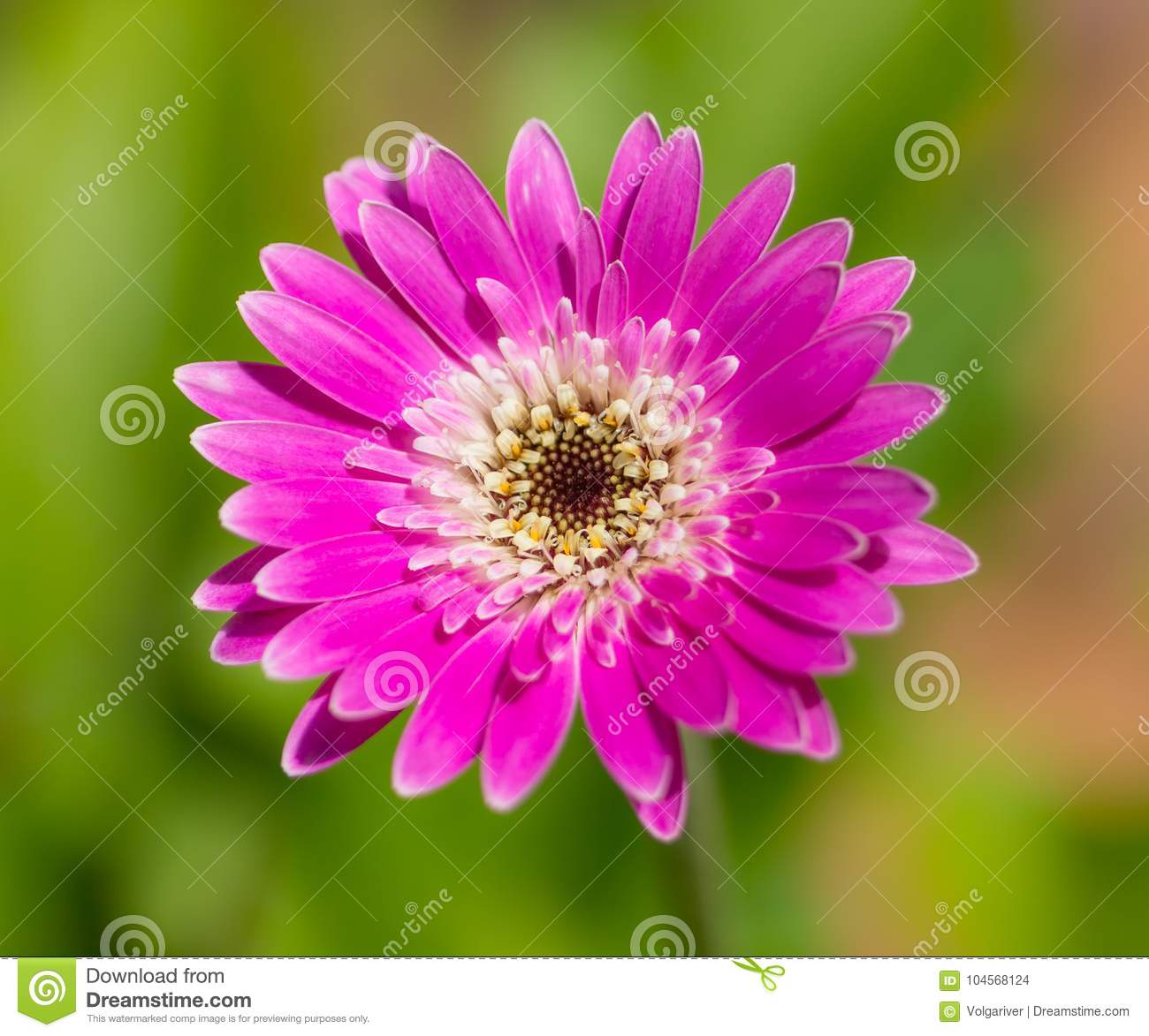 Vibrant Bright Magenta Gerbera Daisy Flower Stock Photo Image Of