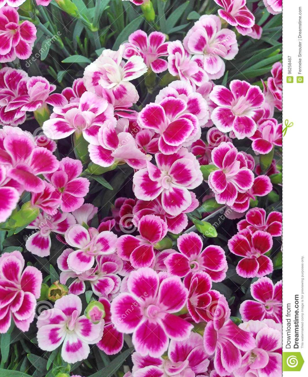 Vibrant Dianthus Flowers In Shades Of Pink Stock Image Image Of