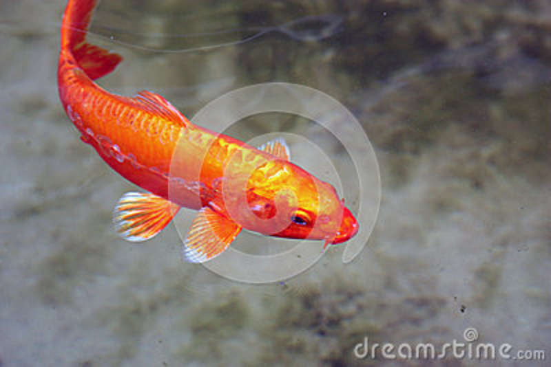 Orange koi fish swimming with white tipped fins royalty for Orange coy fish
