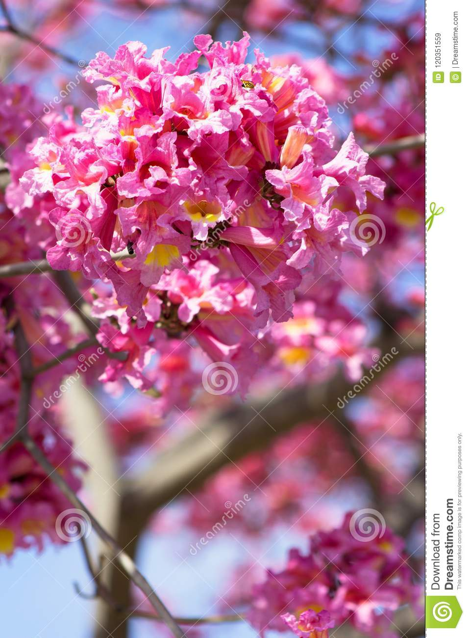 Vibrant Pink And Yellow Trumpet Shaped Flowers In The Tabebuia Tree