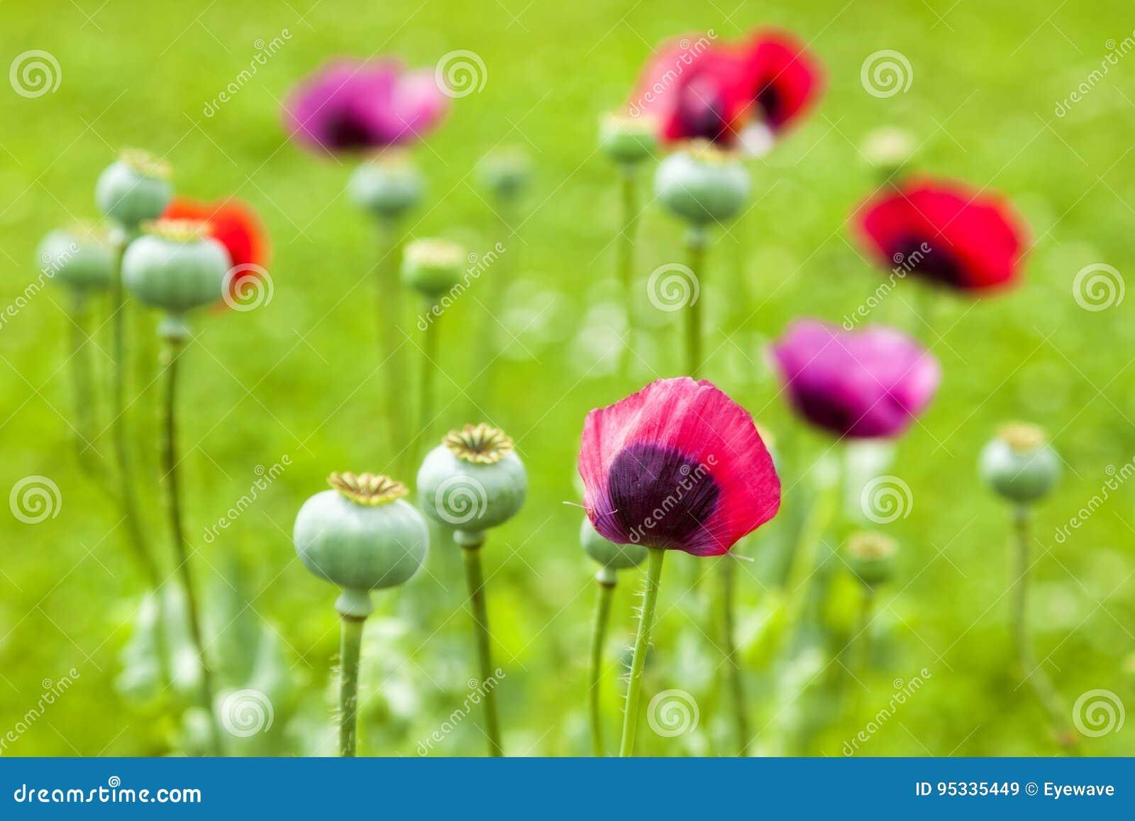 Vibrant poppy flower on meadow stock image image of meadow focus vibrant poppy flower on meadow mightylinksfo