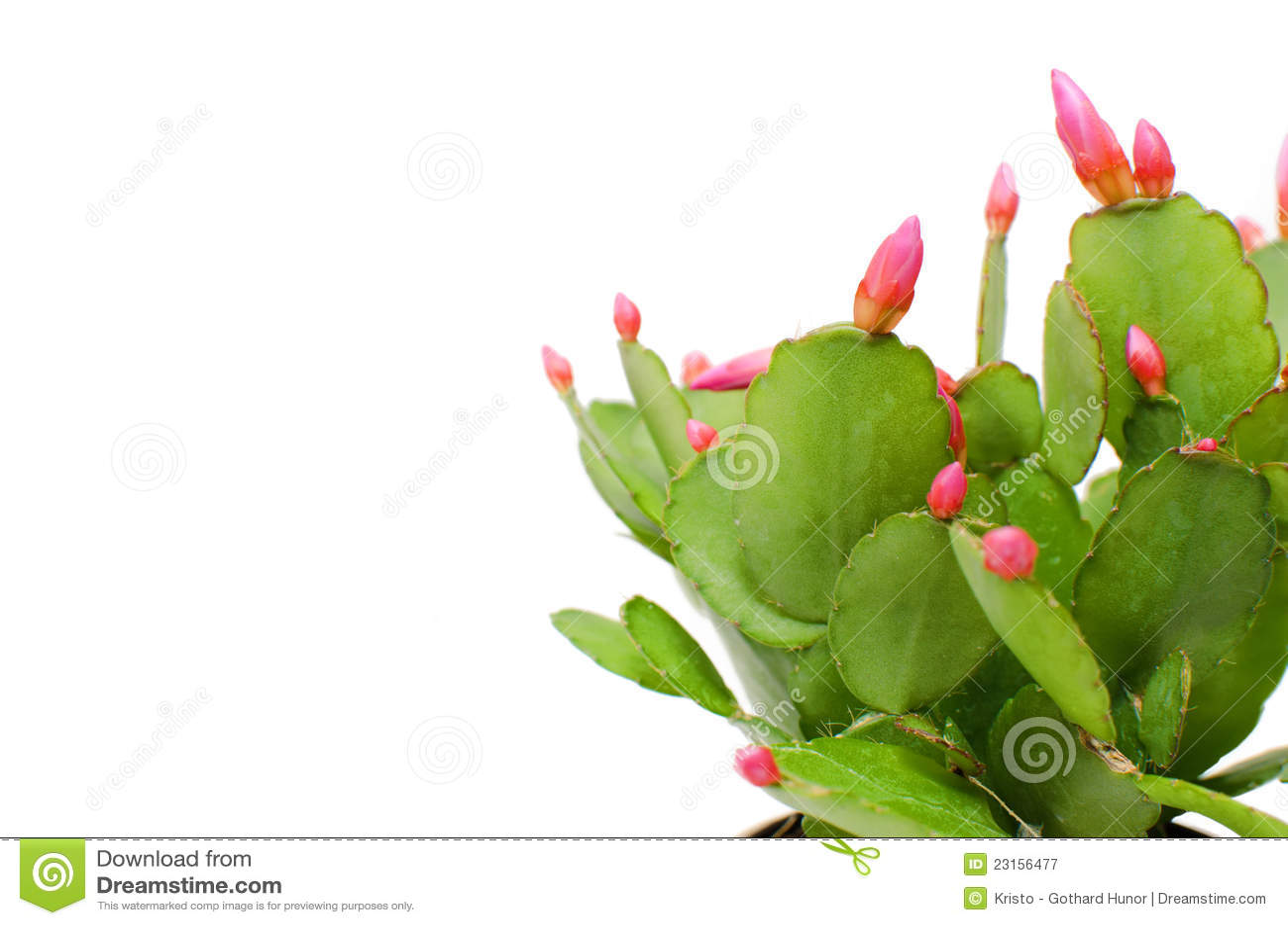 christmas cactus leaf cuttings