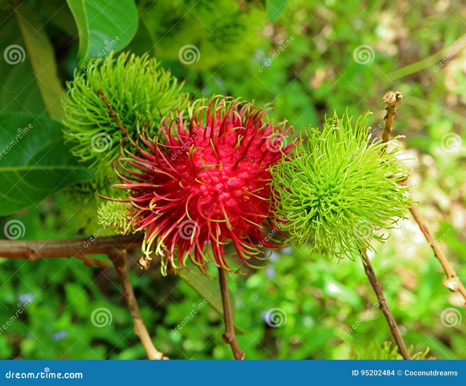 Vibrant Red Color Ripe Rambutan Fruit Amongst The Unripe On The Tree ...