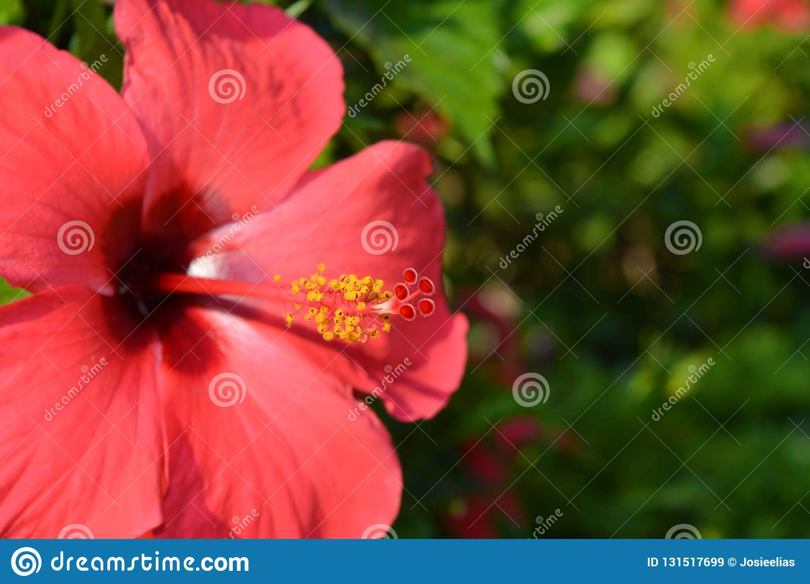 Bright Red Hibiscus Flower Close Up Stock Image Image Of Close