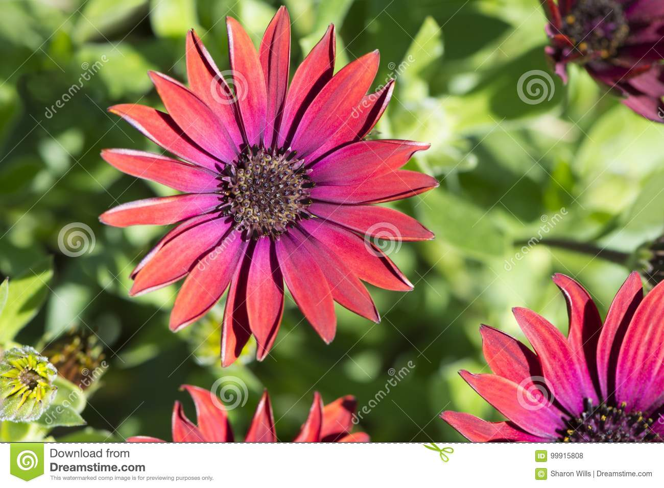 Osteospermum Elite Ruby Stock Photo Image Of Daisybushes 99915808