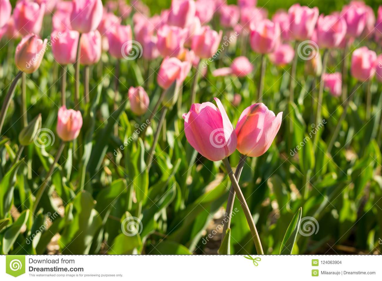 Two Pink Tulips In Tulip Field Stock Photo Image Of Tulips