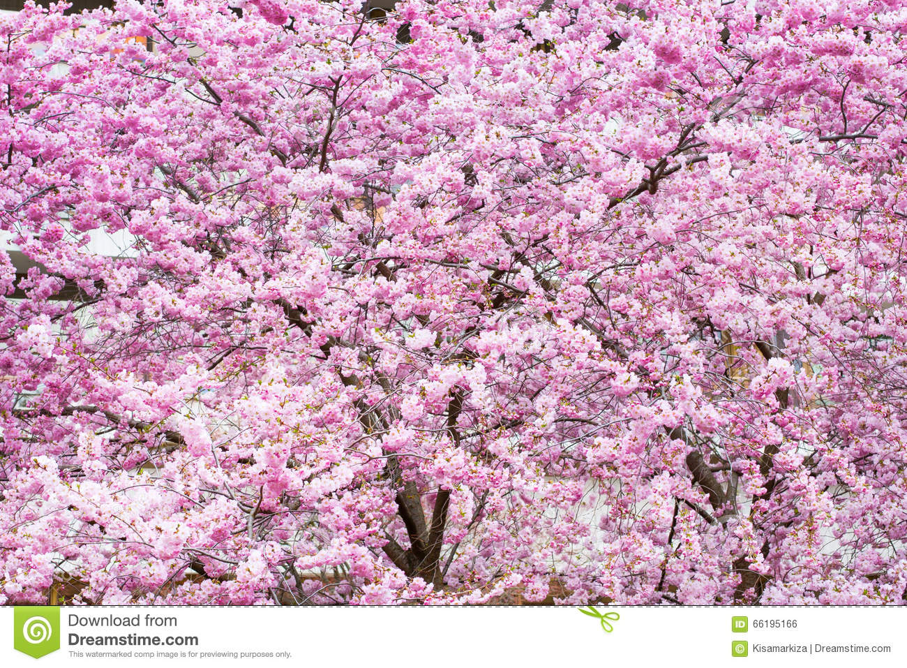 Vibrant spring background texture with beautiful pink cherry background beautiful blossom cherry pink sakura dhlflorist Images