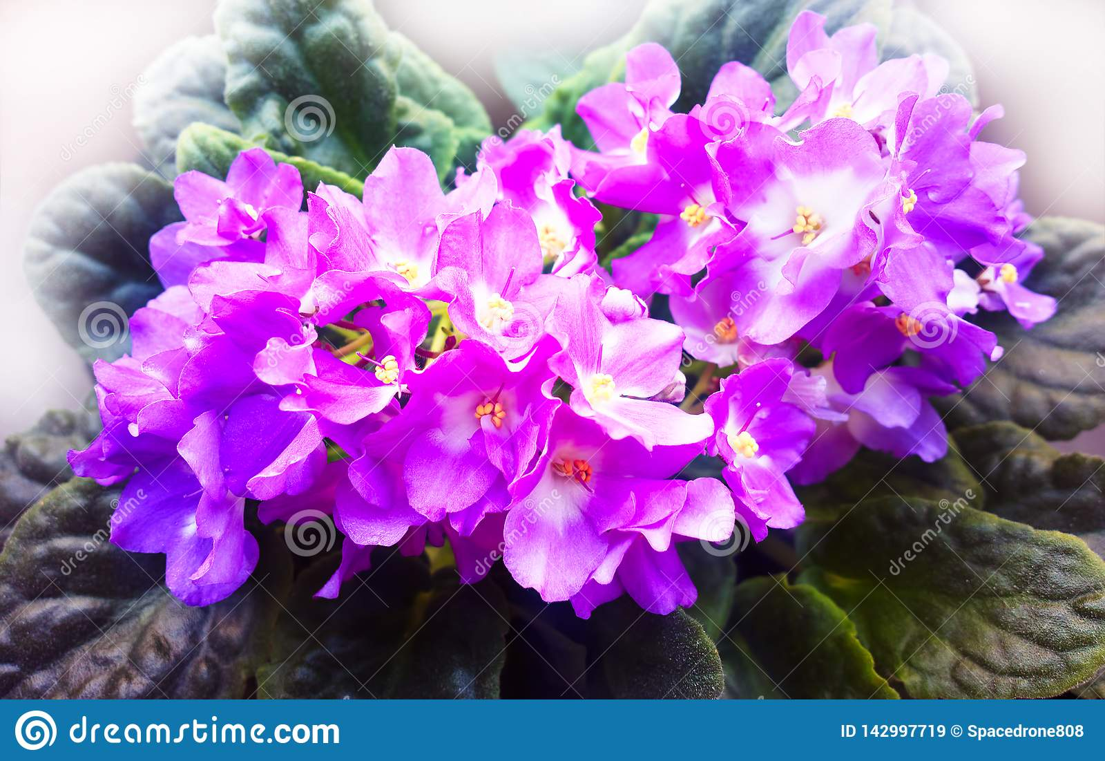 Vibrant Violets On Window Flower Background Stock Image