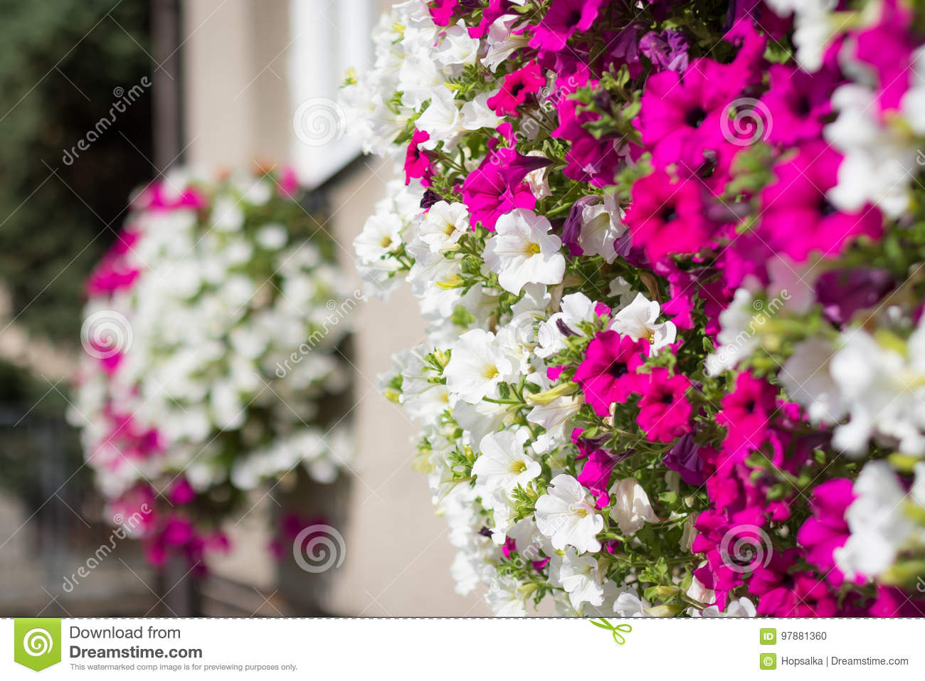 Vibrant White And Pink Petunia Surfinia Flowers Stock Photo