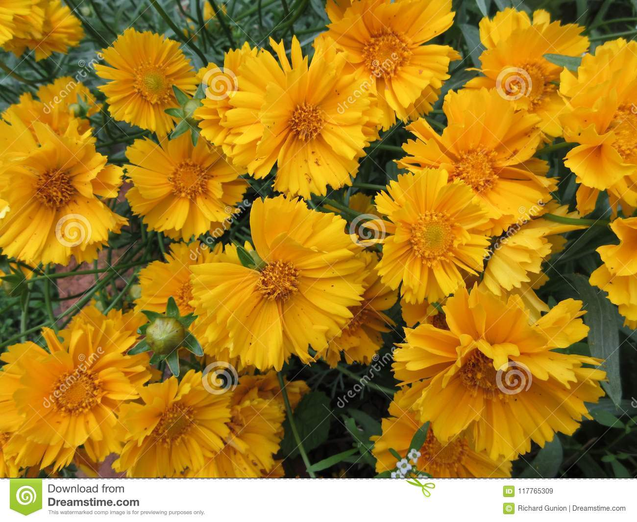 Vibrant Yellow Flowers In The Garden Stock Image Image Of Green