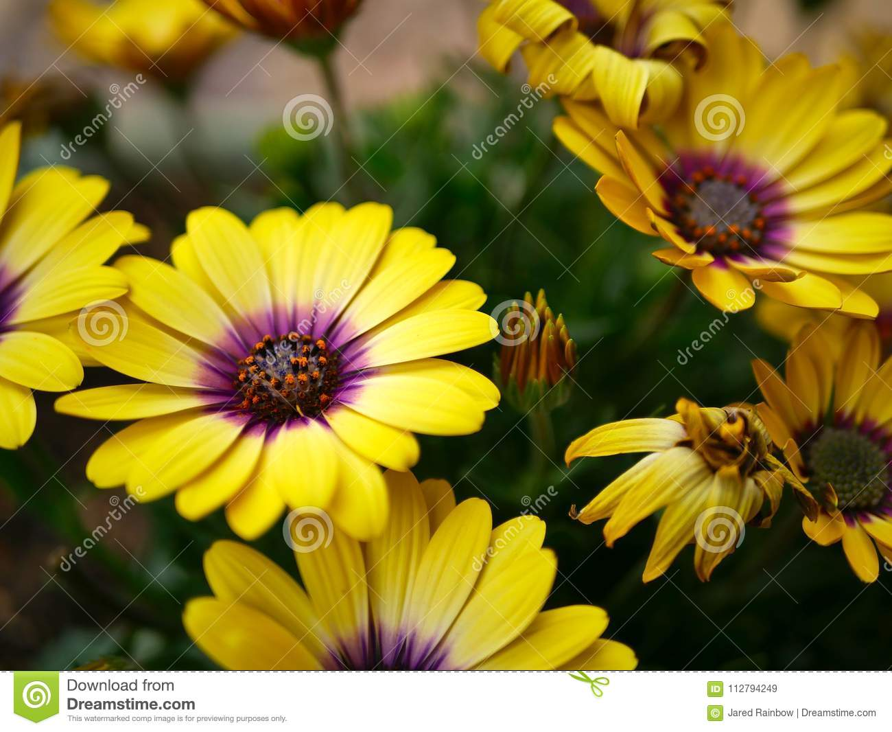Vibrant Yellow Flowers With Pink Centers In A Butterfly Garden Santa