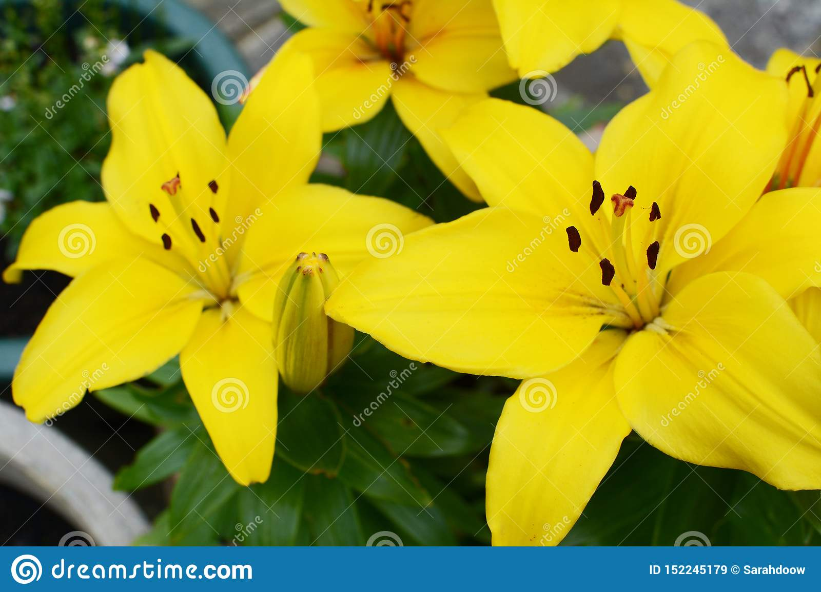 Vibrant Yellow Lily Blooms In A Summer Garden Stock Image Image