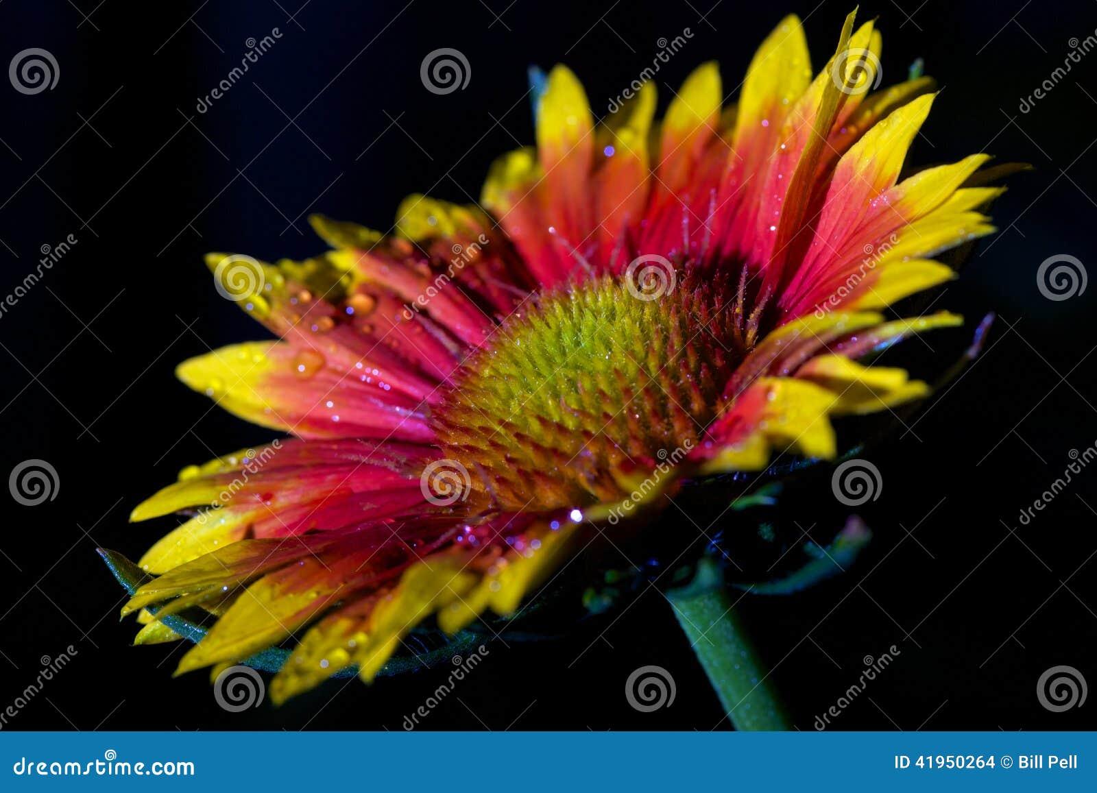 Vibrantly barwiony coneflower