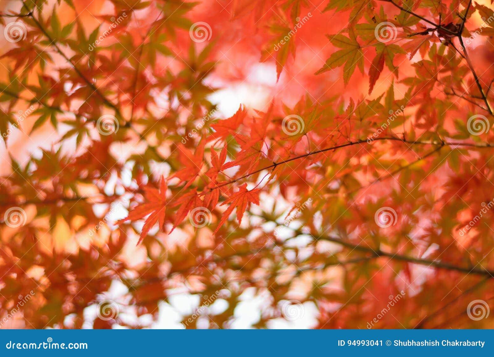 Vibrerande landskap för japanAutumn Maple sidor med suddig bakgrund