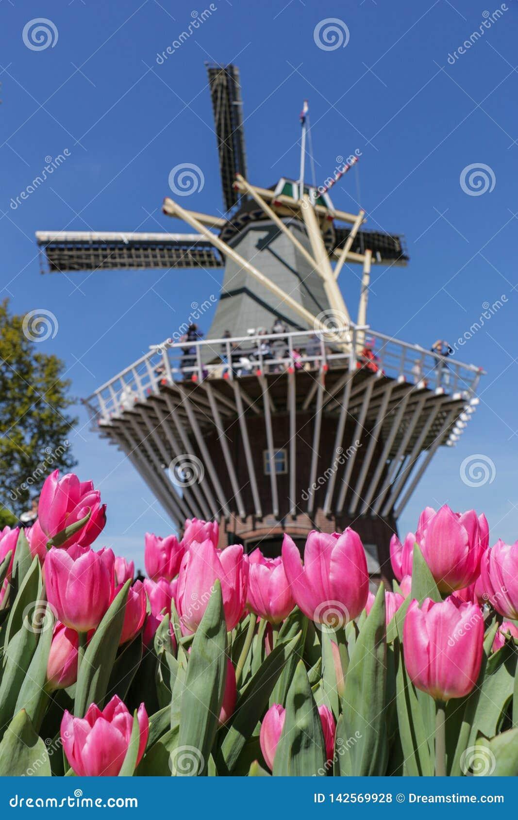 Vibrerande rosa tulpan och holländsk väderkvarn