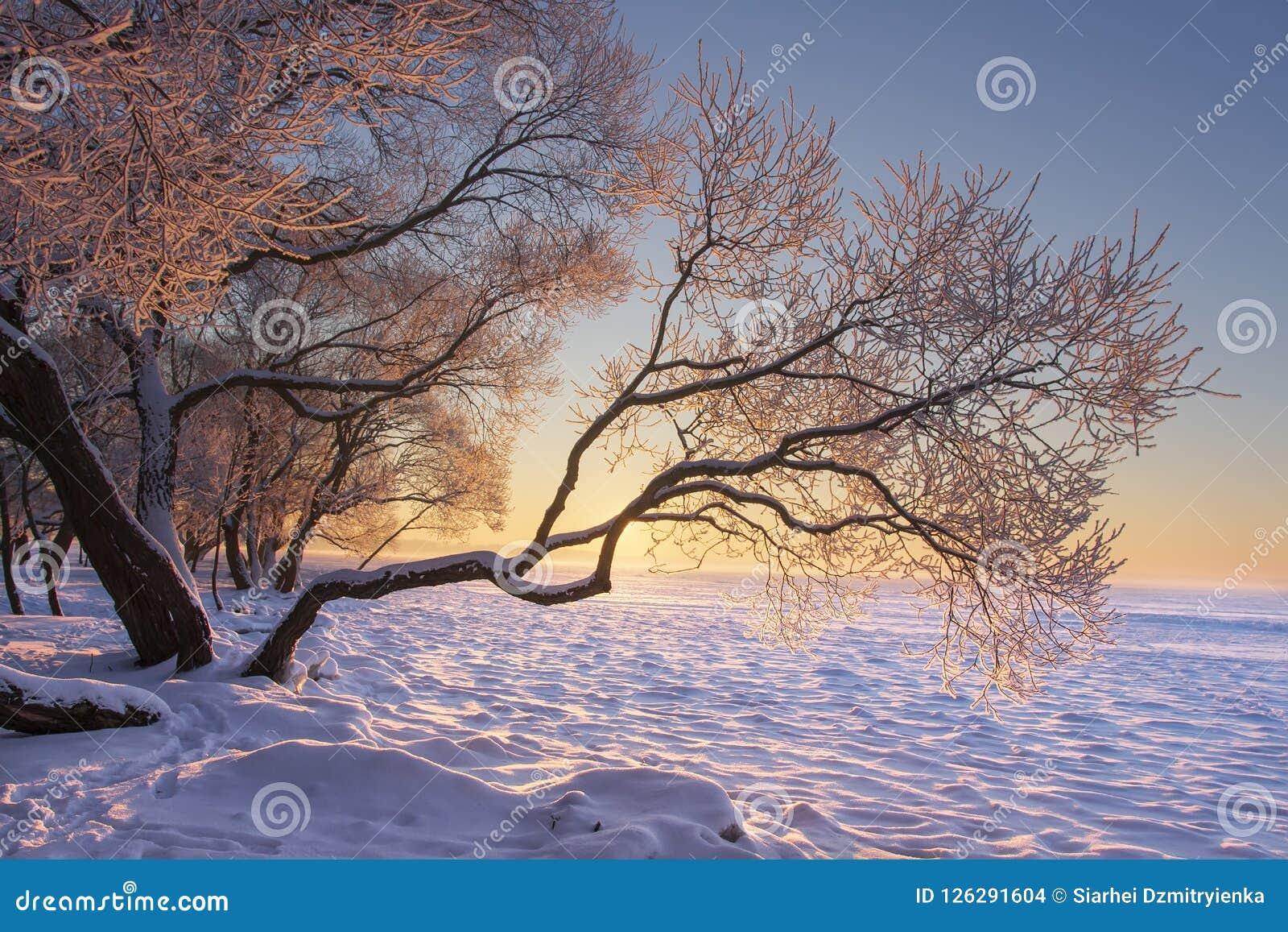 Vibrerande vinterlandskap på morgonsoluppgång med gult solljus Snöig träd fryste på på sjökust Naturvinterplats