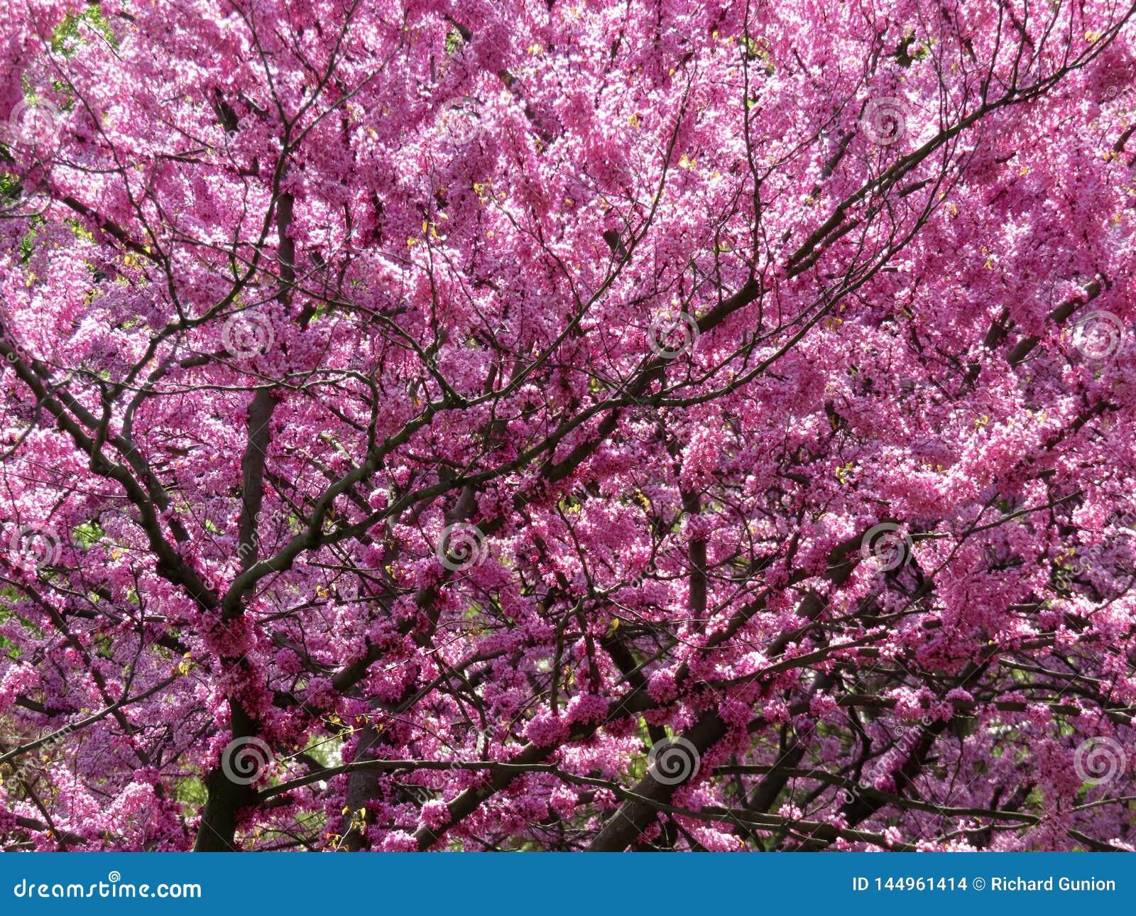 Vibrierende purpurrote Blumen im Frühjahr im April