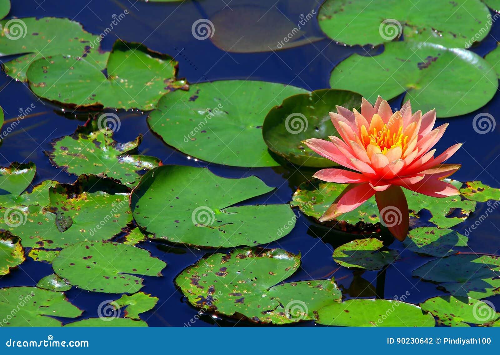 Vibrierende rosa Seerose im Teich