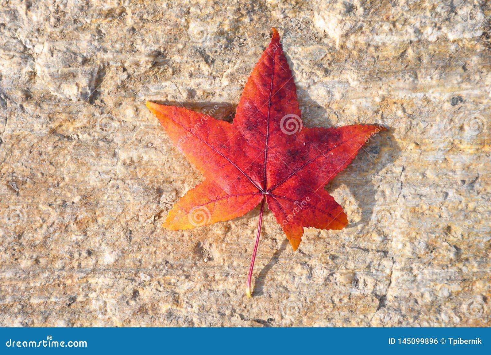 Vibrierender gelber und roter Herbst farbiges Blatt auf einem Steinhintergrund