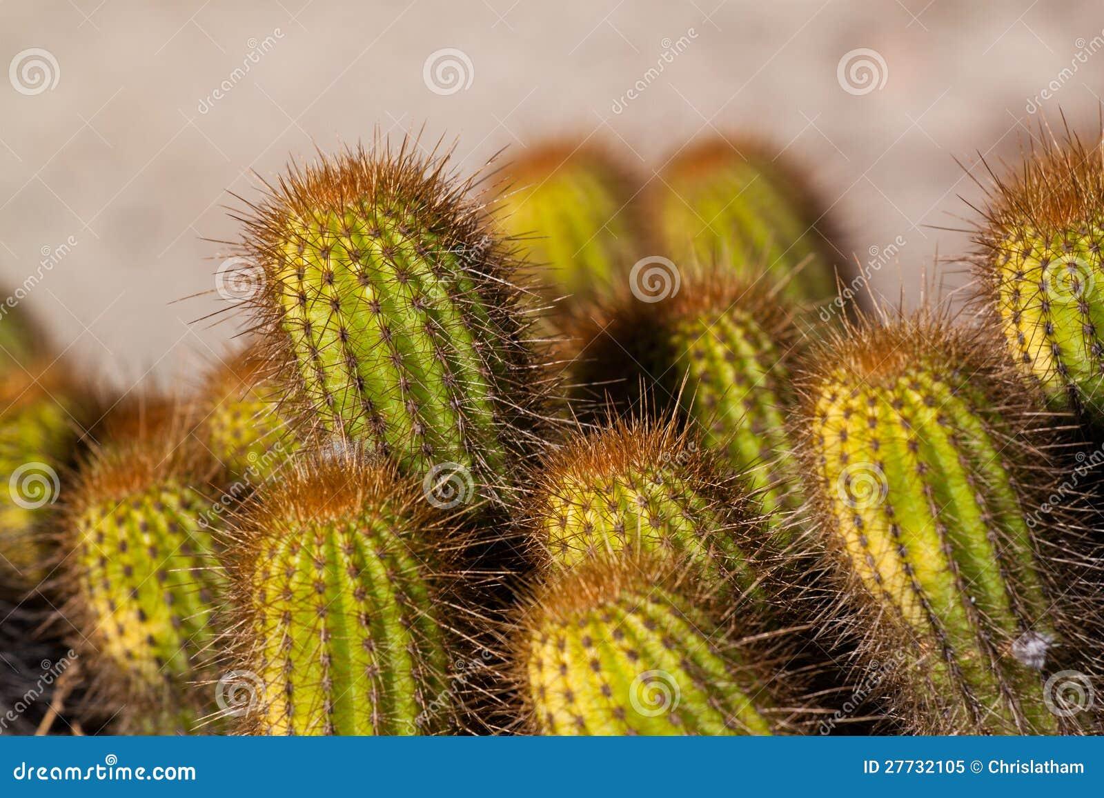 Vibrierender Kaktus
