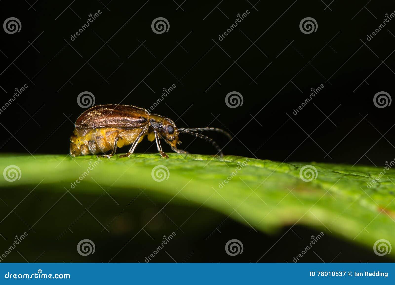 Viburnum beetle (Pyrrhalta viburni) gravid female