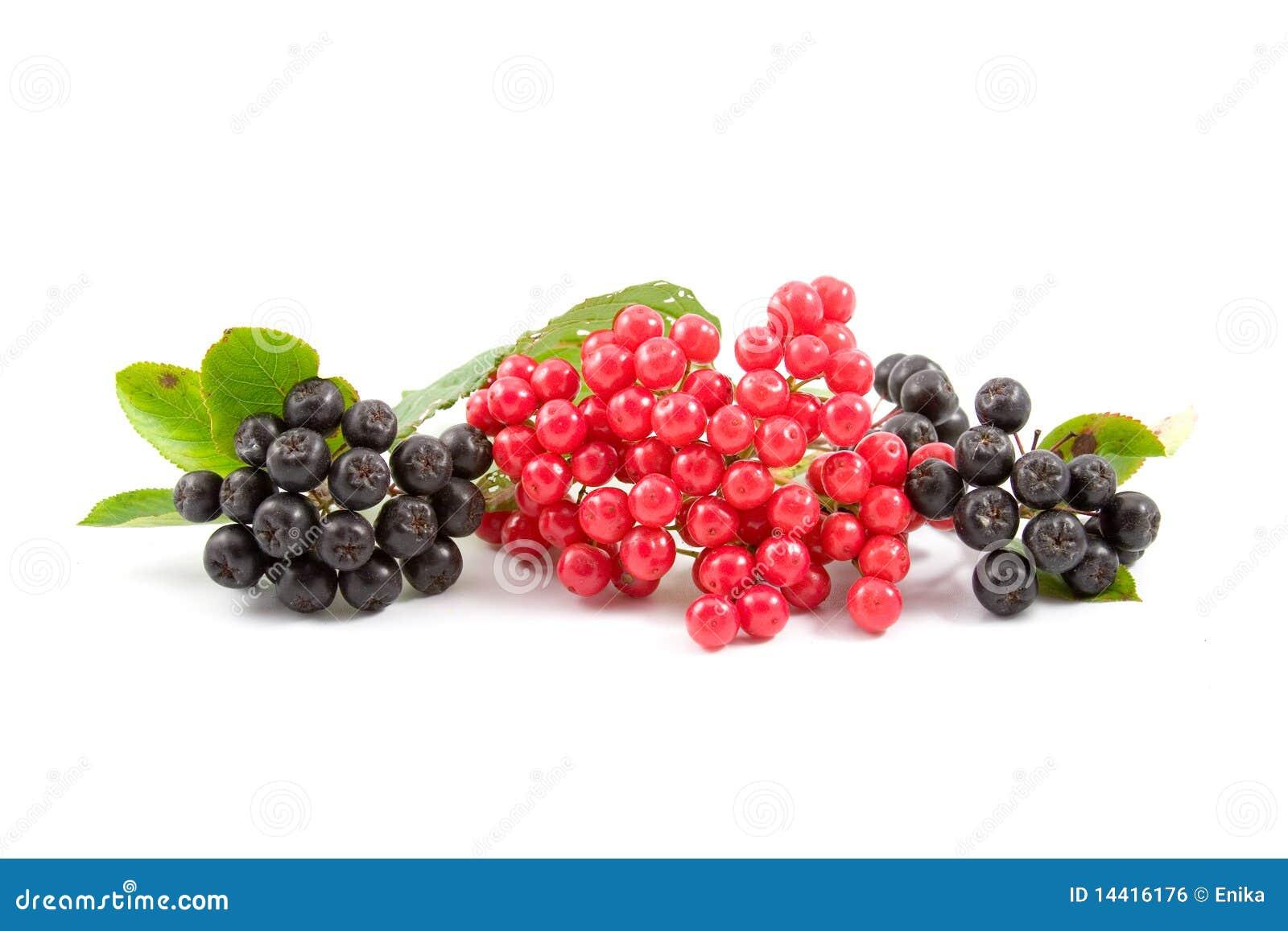 Viburnum chokeberry ягод