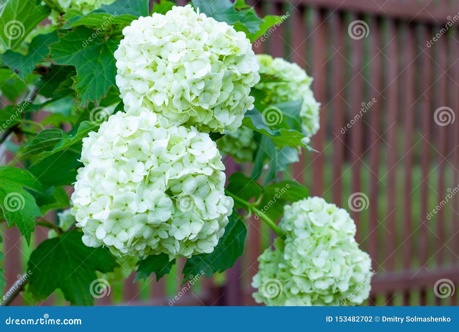 Viburnum de floraison dans le jardin, boules blanches florales sur un buisson de viburnum am?nagement