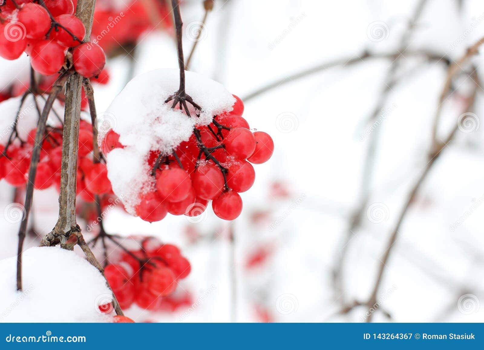 Viburnum i snön första snow
