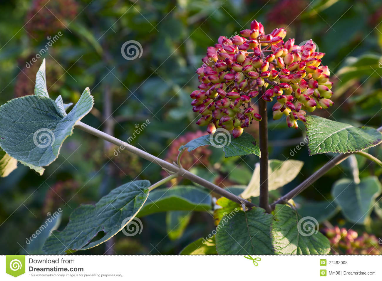meet viburnum singles How to space viburnum hedges a measuring tape will help you space your viburnum properly related articles single-row hedge 1 read your viburnum's plant tag.