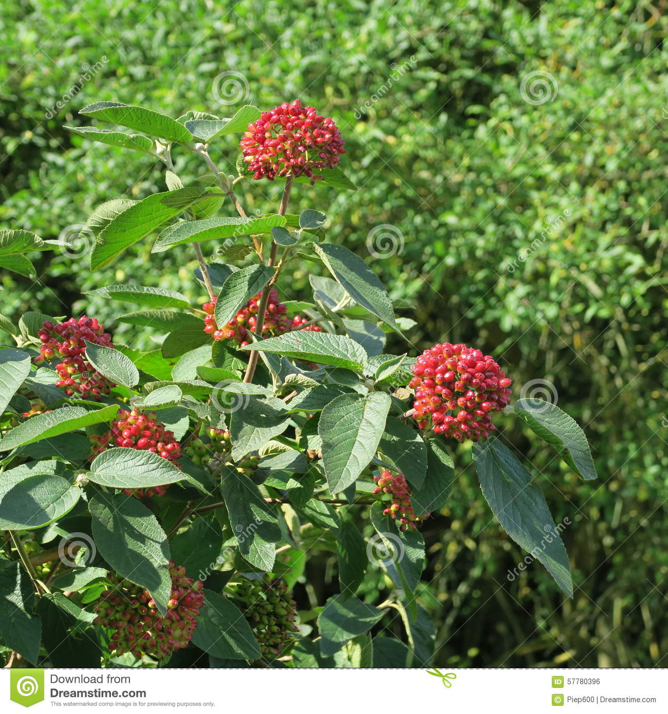 viburnum black singles Black haw, cramp bark, and wild yam when there is uterine cramping in the absence of cervical dilatation, cramp bark (viburnum opulus) and black haw (viburnum prunifolium) are used to arrest uterine spasm 49, 50 these herbs, which can be used interchangeably or together for this purpose, have a long history of use as spasmolytics during .