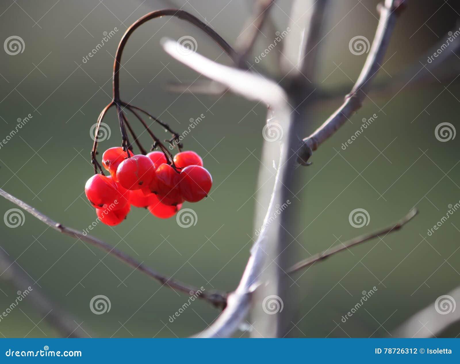 Viburnumväxt utomhus