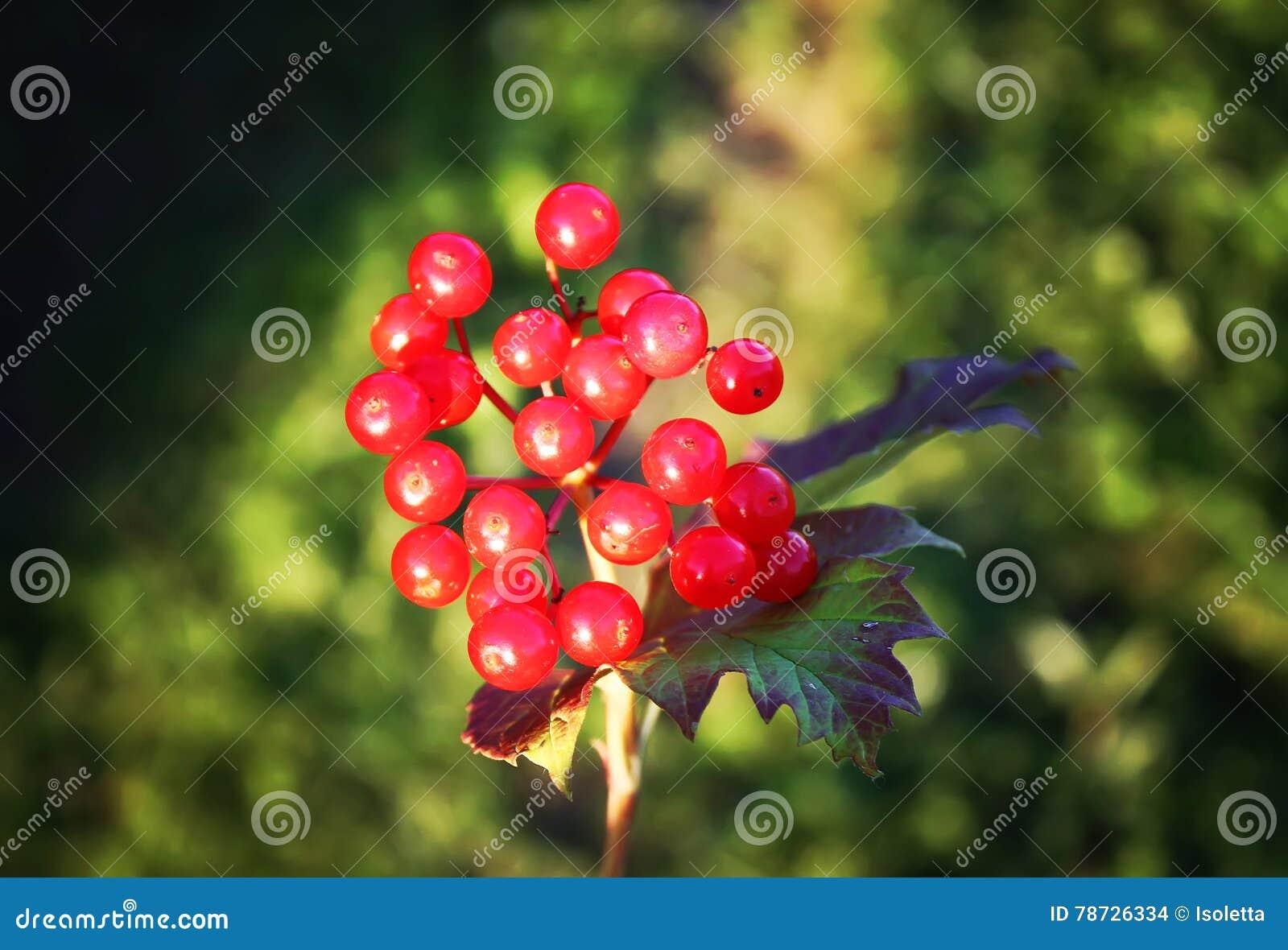 Viburnumväxt utomhus i solljus