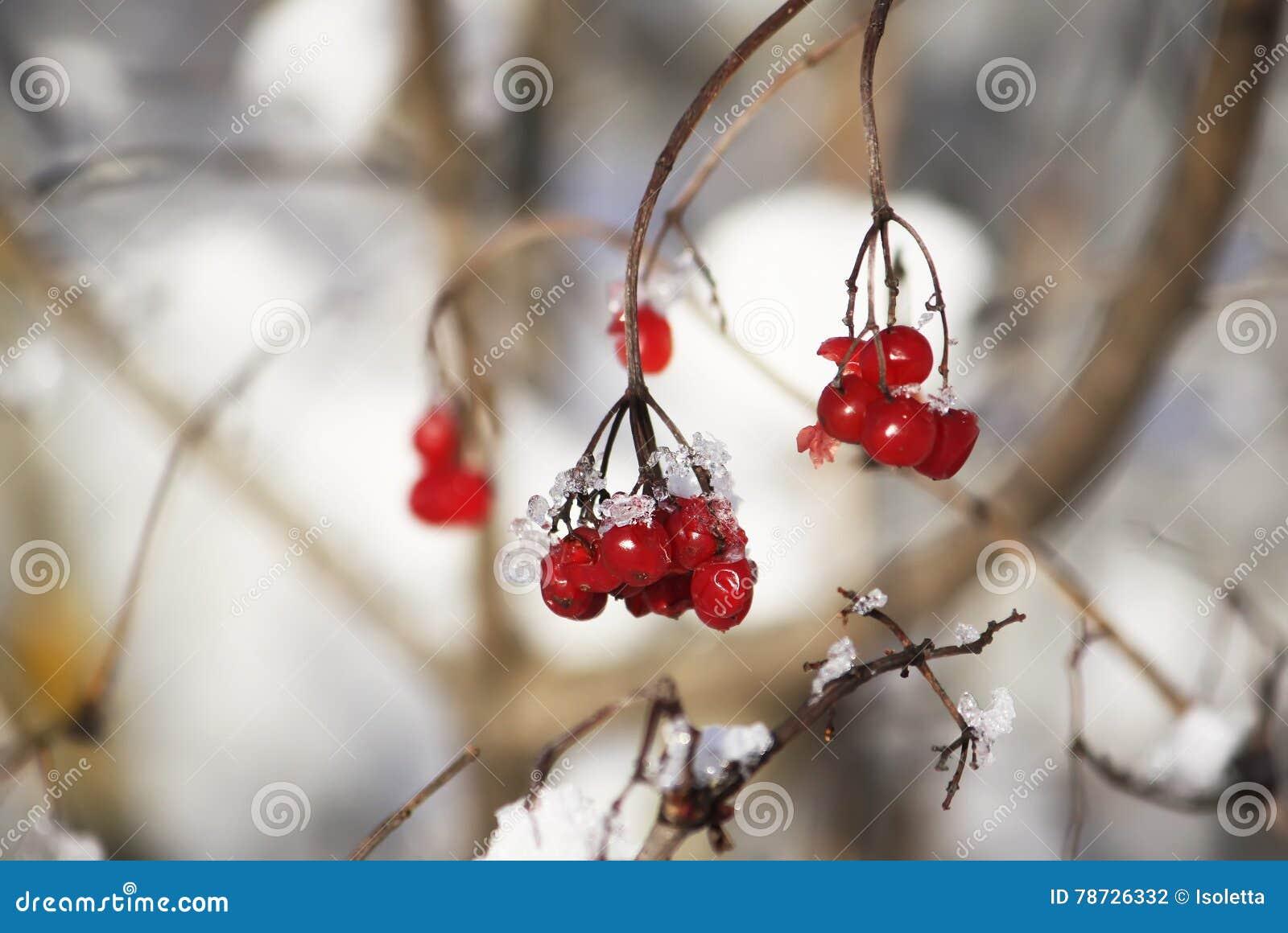 Viburnumväxt utomhus på vintern
