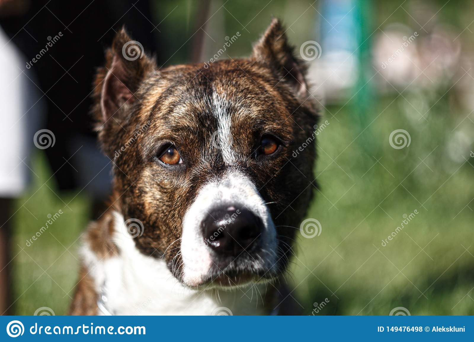 Vicino su un cane con le orecchie potate