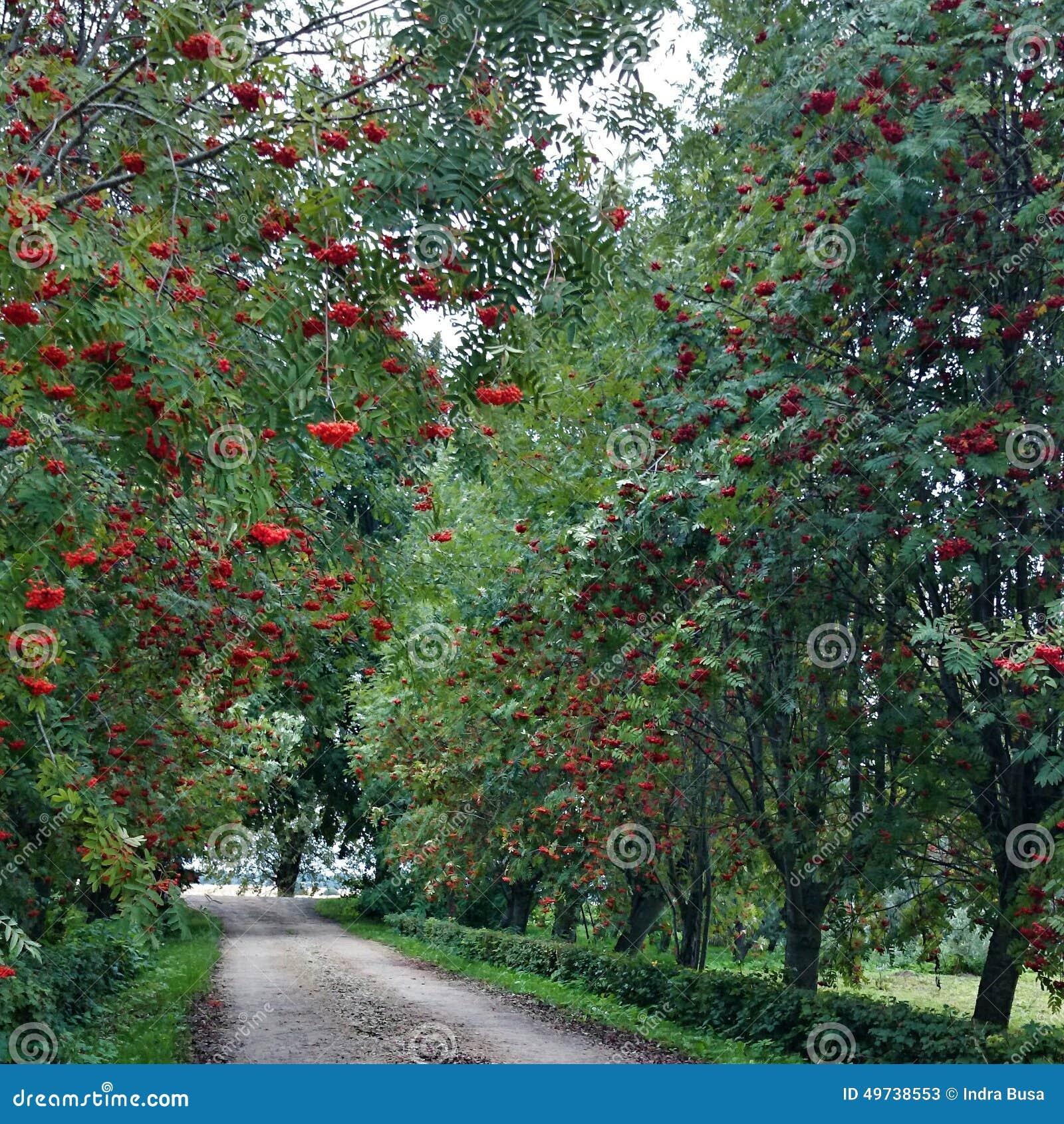 Vicoli arancio del vicolo della strada dell albero delle bacche