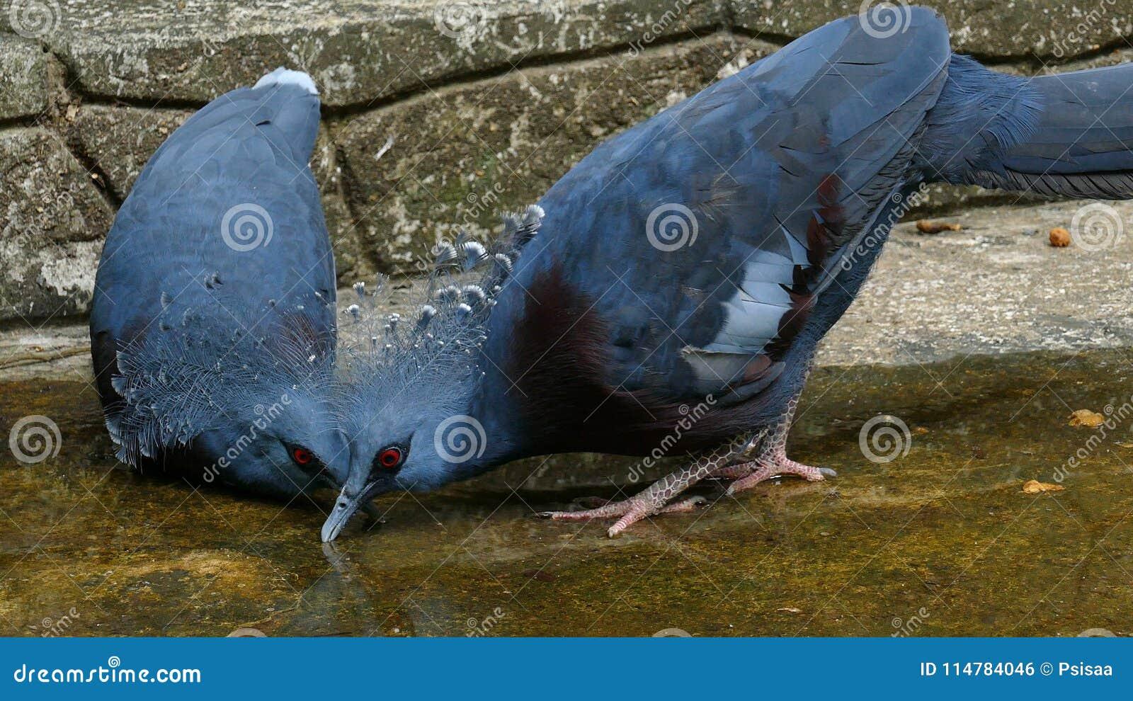 Victoria coronó el agua de la bebida de la paloma en la tierra