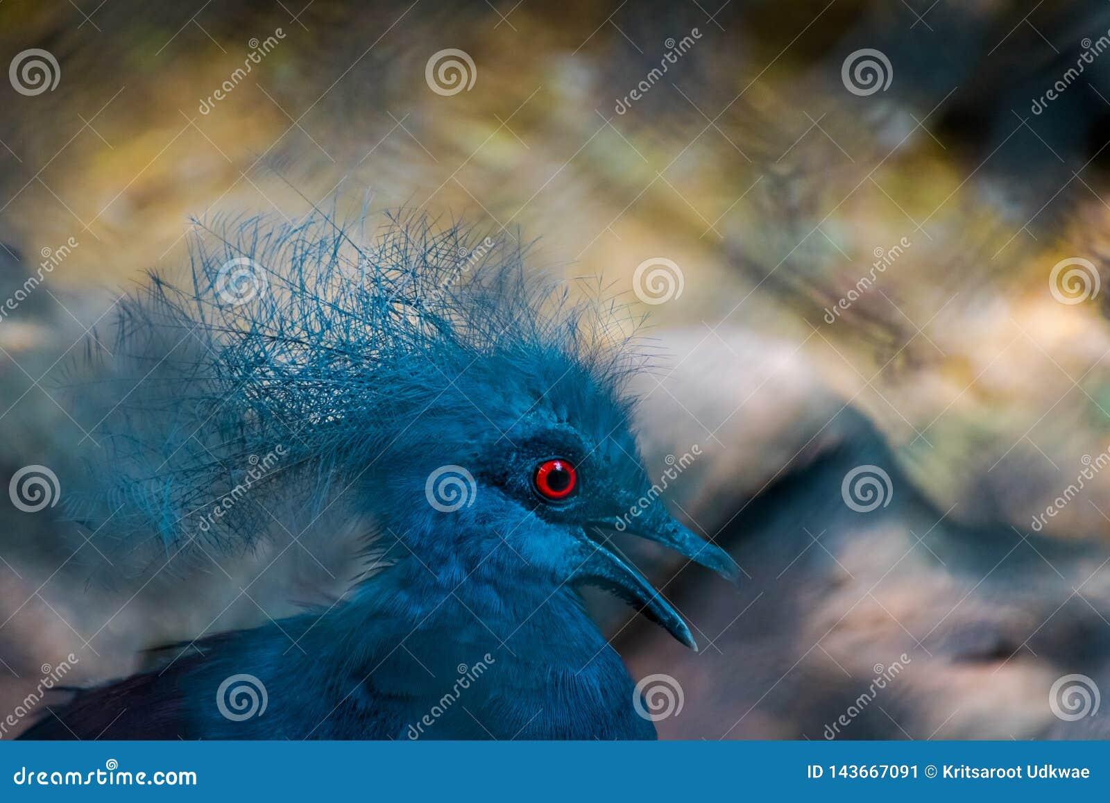 Victoria Crowned Pigeon azul hermosa