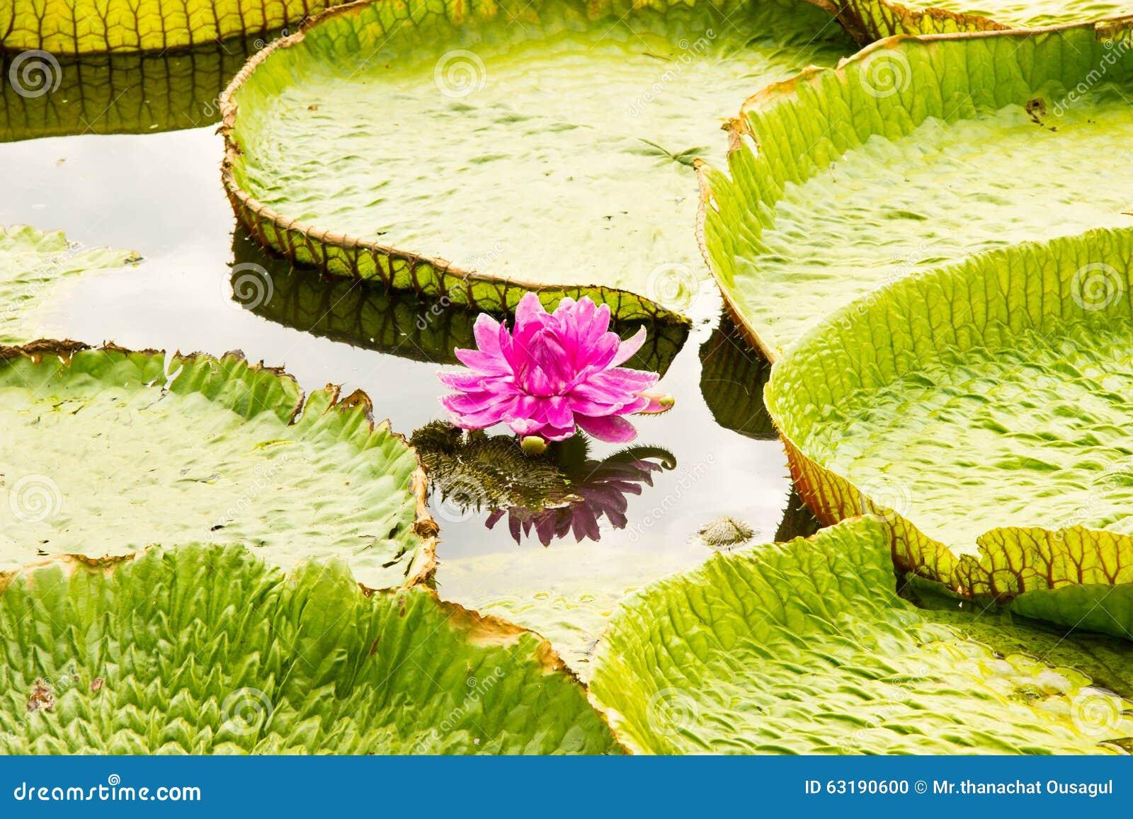 Victoria Lotus Stock Photo Image Of Pride Plumeria 63190600