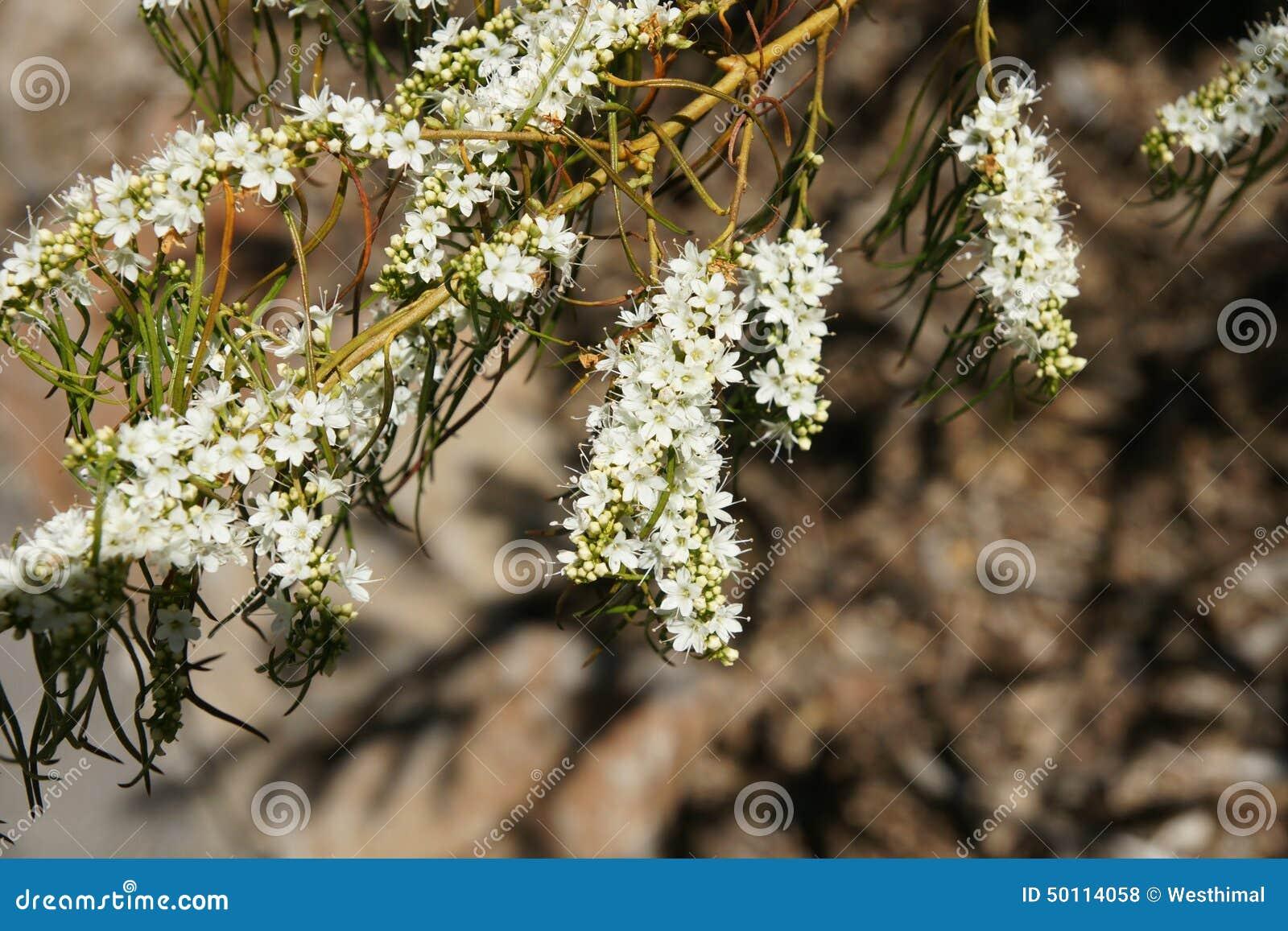 Christmas Bush Tree Australia.Victorian Christmas Bush Prostanthera Lasianthos Stock
