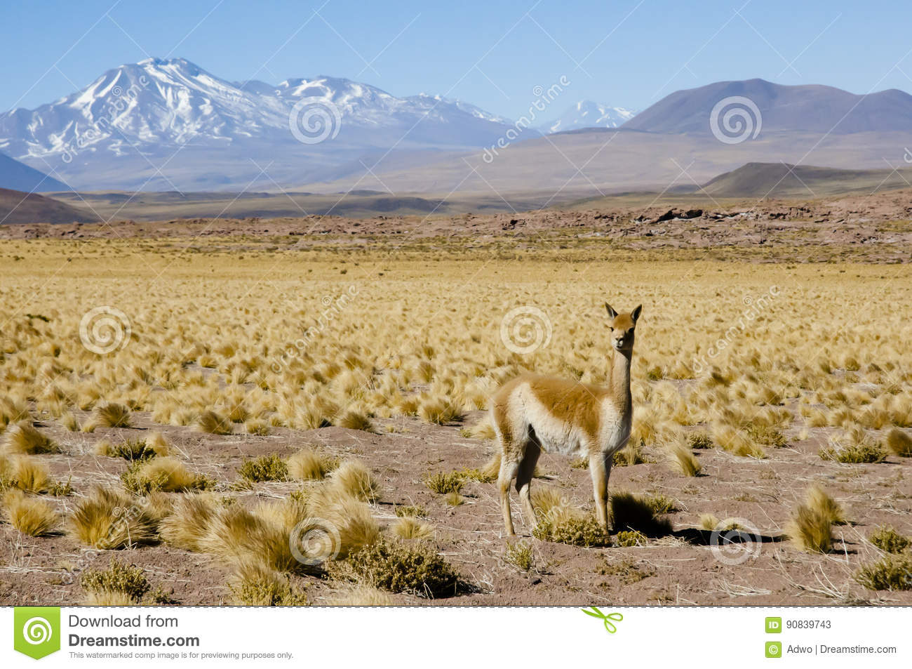 vicuna in the altiplano chile stock image image of snowcap