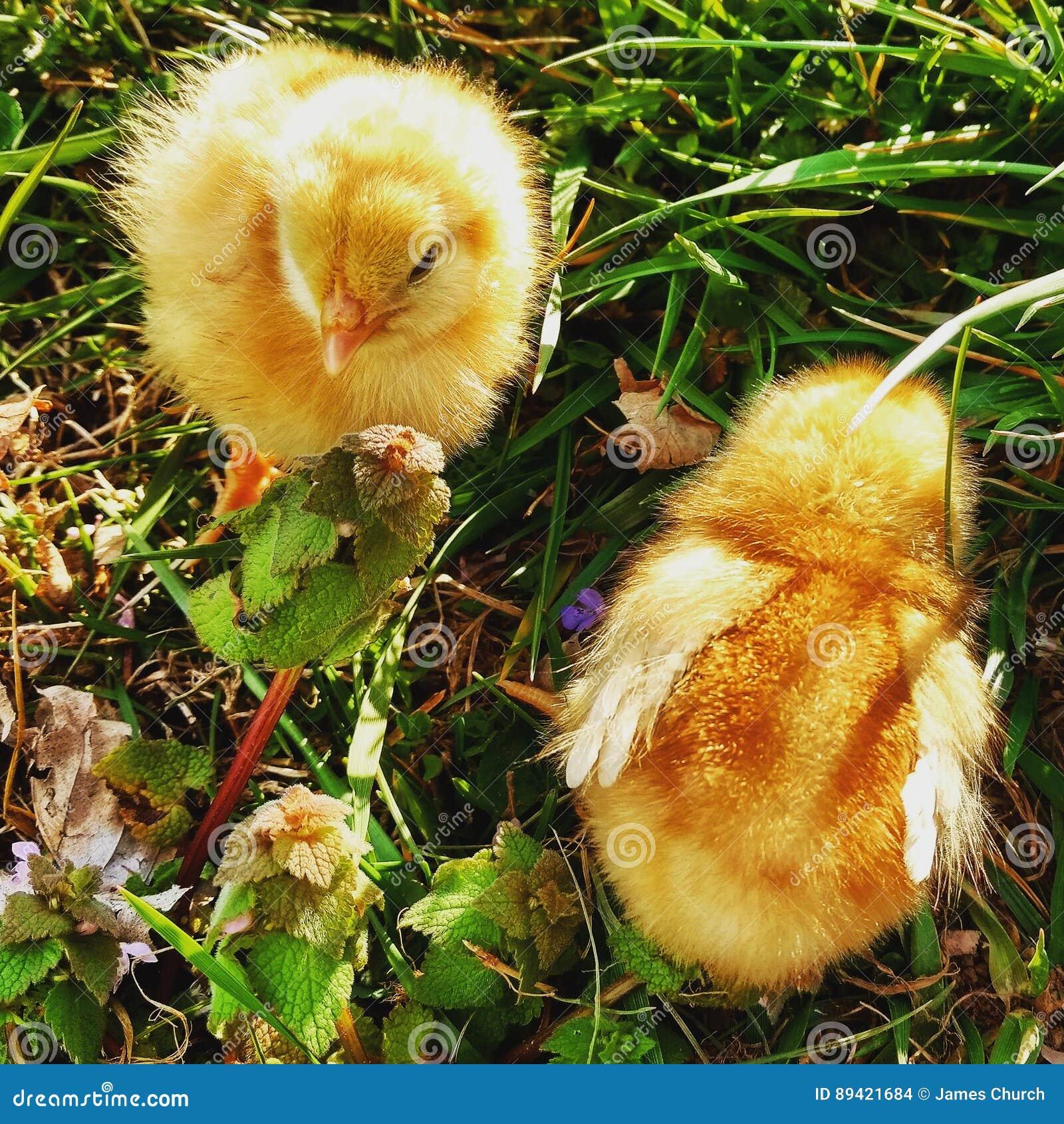 Vida da galinha