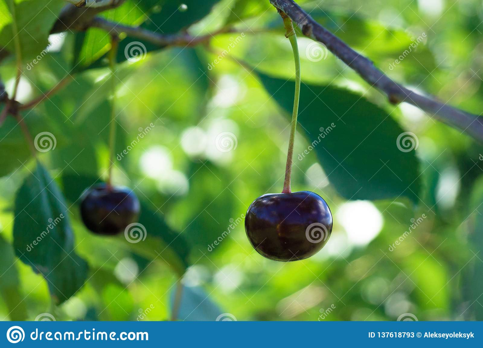 Vida de país Cherry Orchard ucrânia