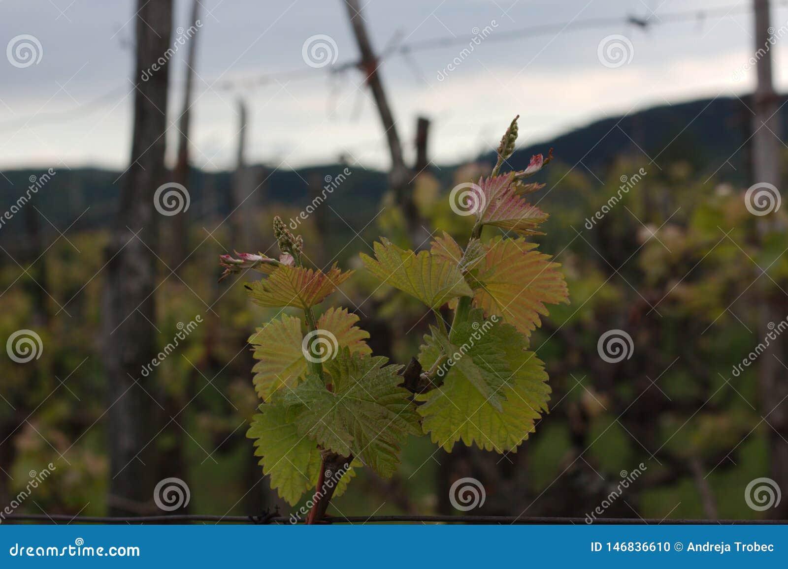 A videira cronometra na primavera, vitis - vinifera L