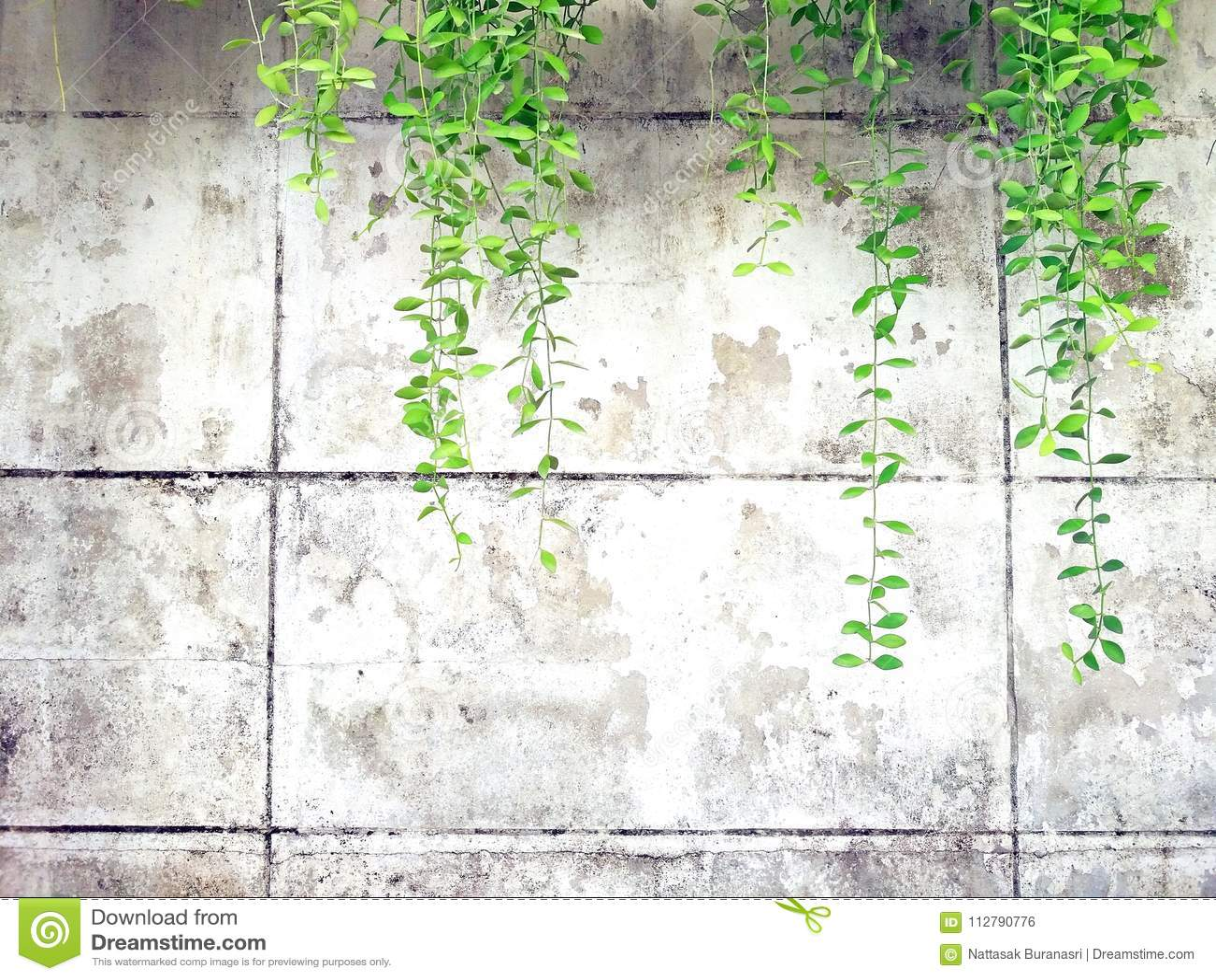 Videira verde, liana ou planta do rastejamento no cimento branco velho ou fundo abstrato da parede do grunge com espaço da cópia