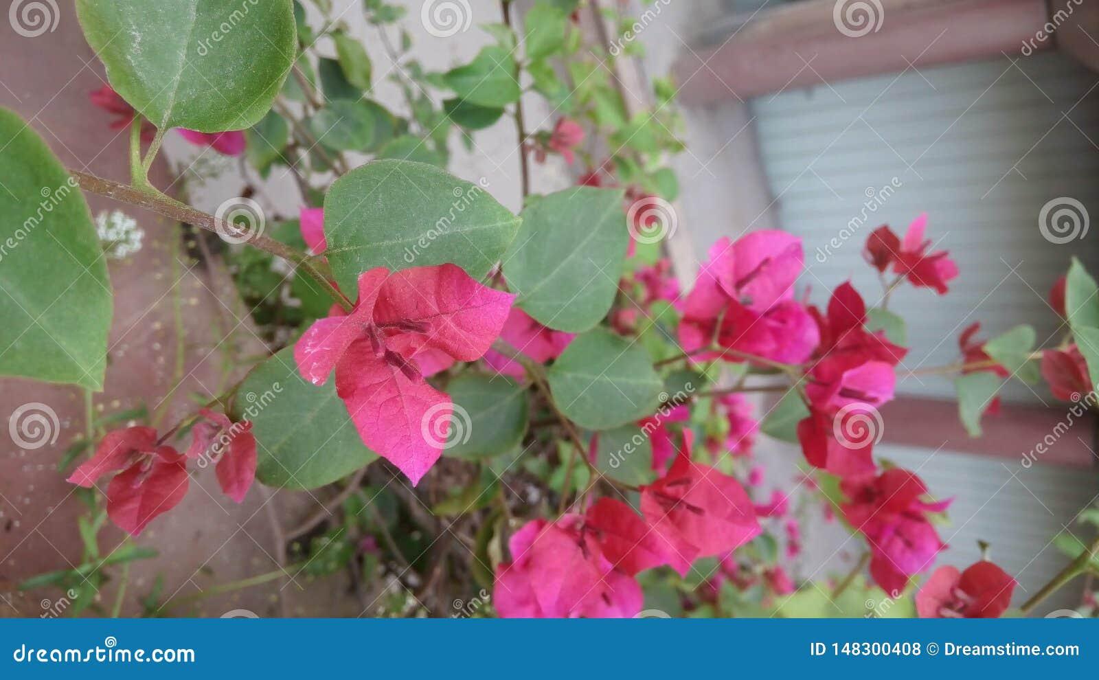 Videiras decorativas da buganvília, arbustos, flores