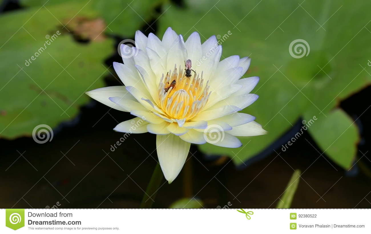 Video Footage Of Bees Pollinating Waterlily Or Lotus Flower Stock
