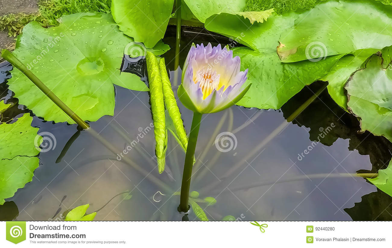 Video Footage Time Lapse Opening Of Waterlily Lotus Flower Is