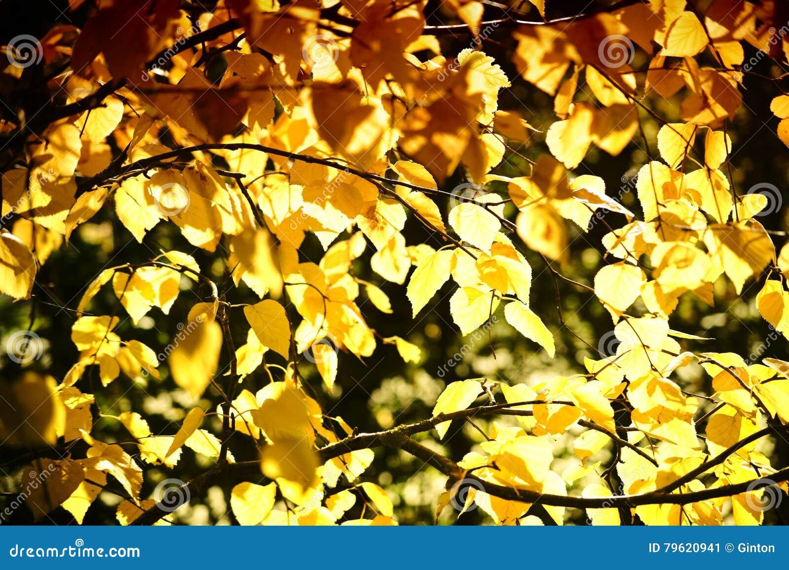 Vidoeiro de prata Siberian de folhas de outono